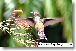 Black-throated Mango (Anthracothorax nigricollis) birds of Tobago