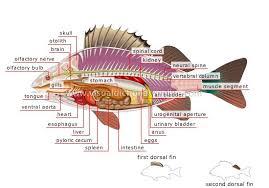 anatomi ikan nila