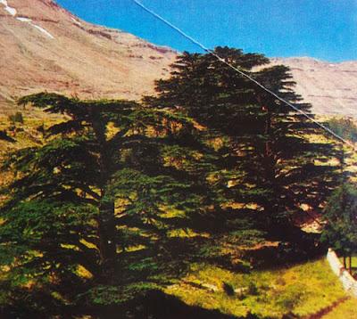 Foto Pohon cedar atau arash