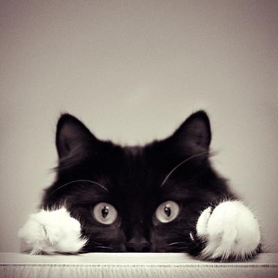 Photographie de chat noir et blanc sur Pinterest
