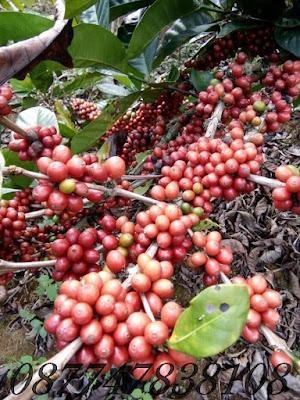 cara agar kopi berbuah lebat, tanaman kopi, buah kopi