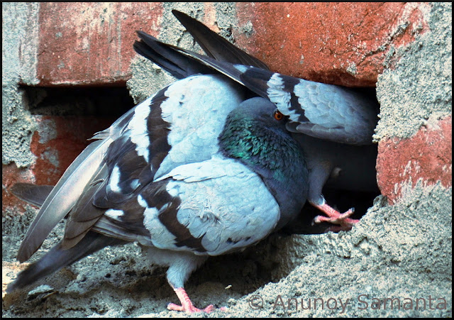 Were those Pigeons Courting or Fighting
