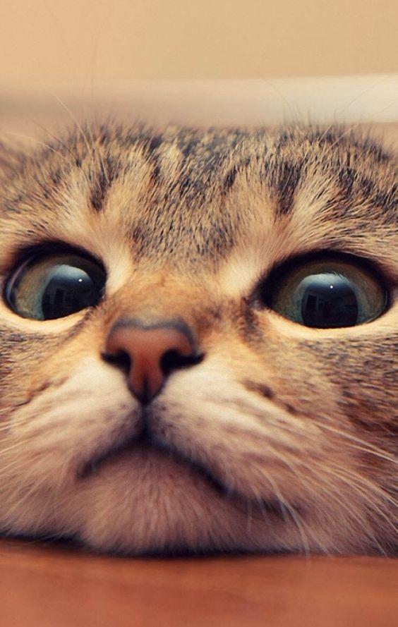 Face cat wallpaper papel de parede imagem de fundo photo face cat wallpaper imagens de fundo para celular cats gatos voltagebd Image collections