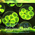 Mengenal Fitoplankton Sebagai Zat Organik Penting Dalam Ekosistem Perairan