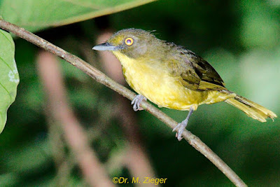 Green-tailed Bristlebill