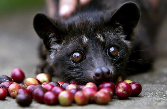 Мусанг и кофейные ягоды