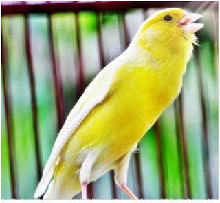 Burung Kicau Bakalan