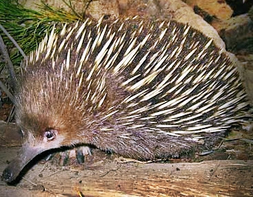 Echidna or Spiny Anteater Facts