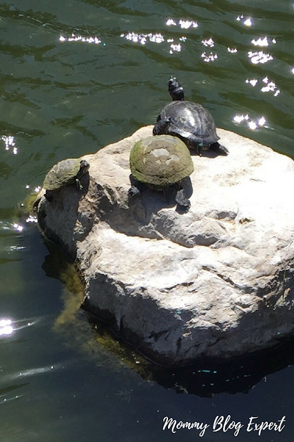Turtles Sunning on a Rock