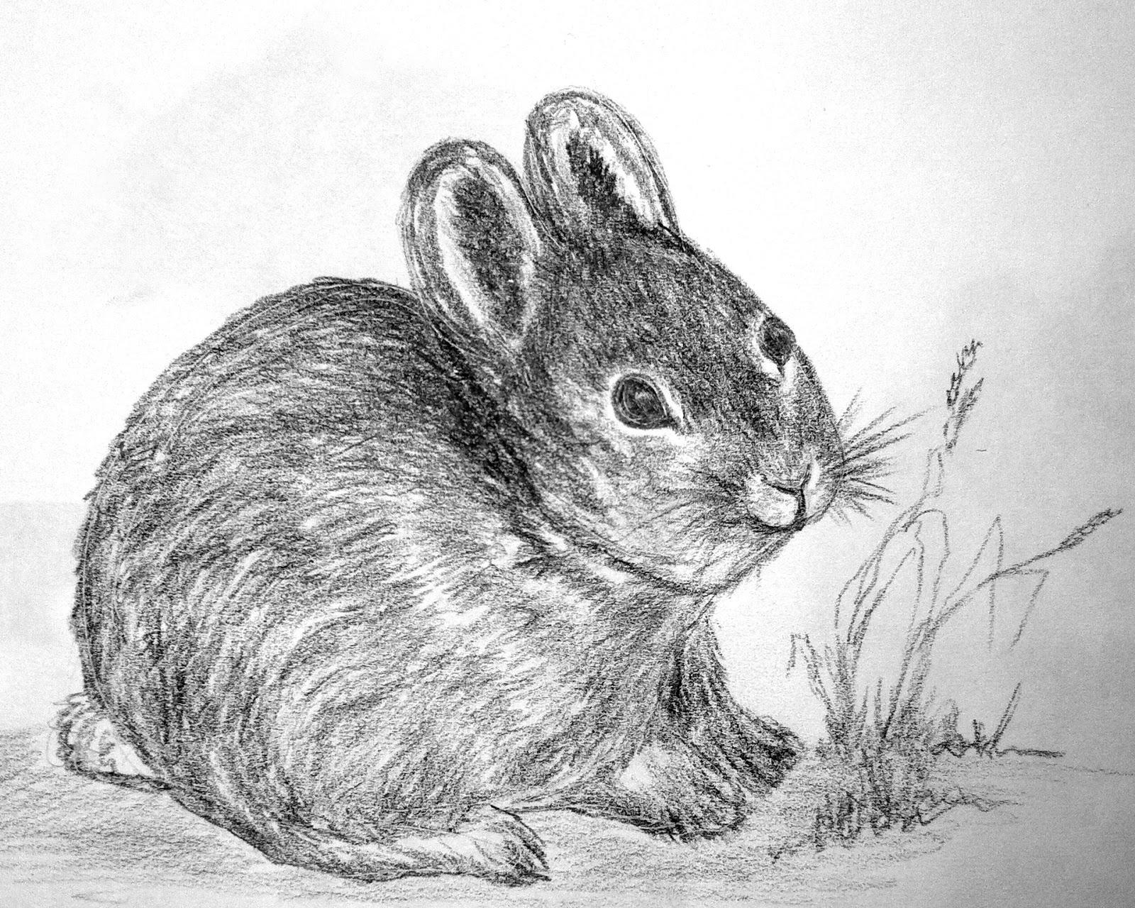 CMPimages: Pygmy Rabbit sketch