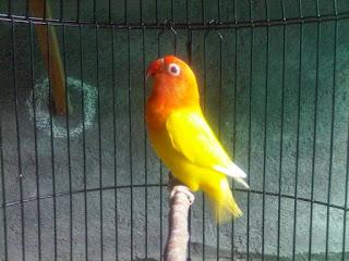 lovebird siap lomba