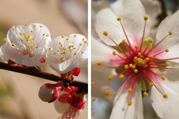 La flor de almendro con sus distintas tonalidades, blancas o rosadas, con cáliz corto y ancho