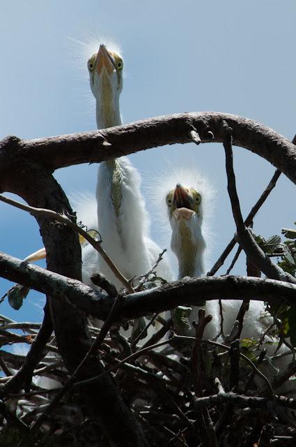 Juvenile Great Egrets, UT Southwestern Rookery