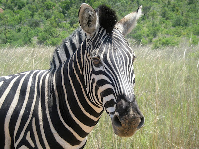 South Africa, Kruger National Park, zebra