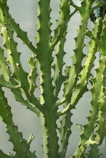 Euphorbia mayurnathanii - Euphorbia mayuranathanii