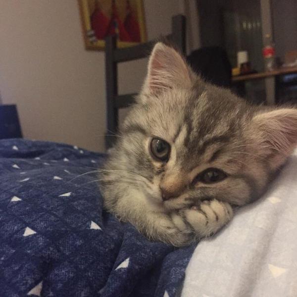 смешной мечтательный котенок