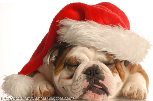 funny christmas bulldog - photo #26