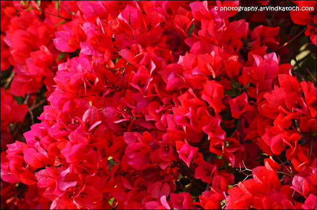 Flowers, Leaves, Bougainvillea, Flowers,