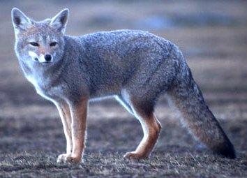 Foto de zorro con cola ancha