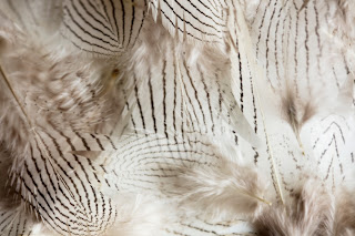 A collection of zebra striped feathers, just a random assortment