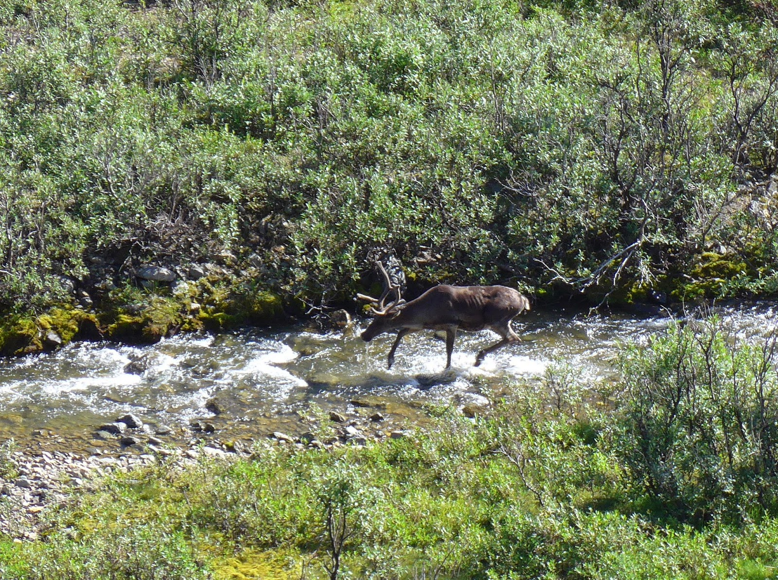 A Caribou running in the creek to get rid of some pesky Bugs