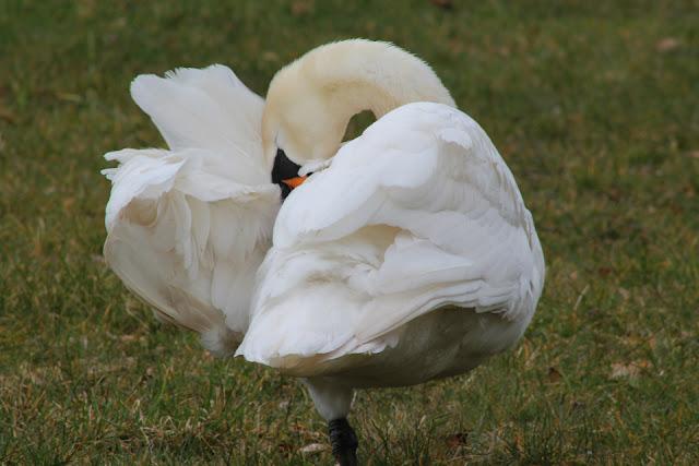 Swan at Emo Court