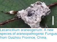 https://sciencythoughts.blogspot.com/2017/04/lecanicillium-araneogenum-new-species.html
