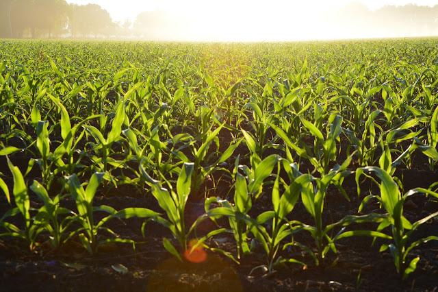 विश्व के प्रमुख फसलें एवं उत्पादक देश | World's leading crops and producers