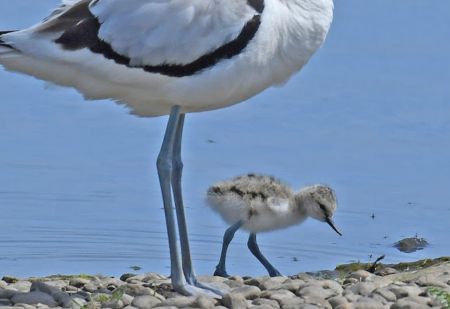Marshside – Avocets and Godwits