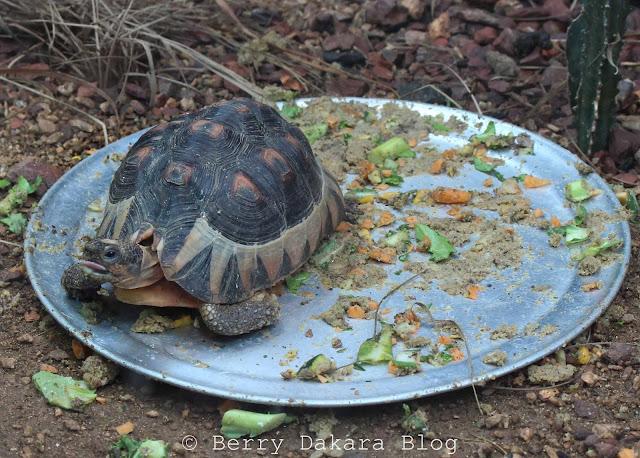 berry dakara, atlanta, zoo, zoo atlanta, travel atlanta, discover georgia, atlanta tourist, tortoise