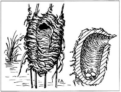 nido de Junquero Phleocryptes melanops