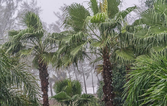 heavy monsoon rain on palm trees during the rainy season