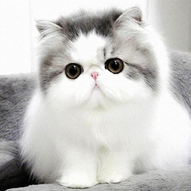 Gambar Anak Kucing Parsi Paling Comel 81021 Nama Untuk Kucing Comel Lucu Dan Unik