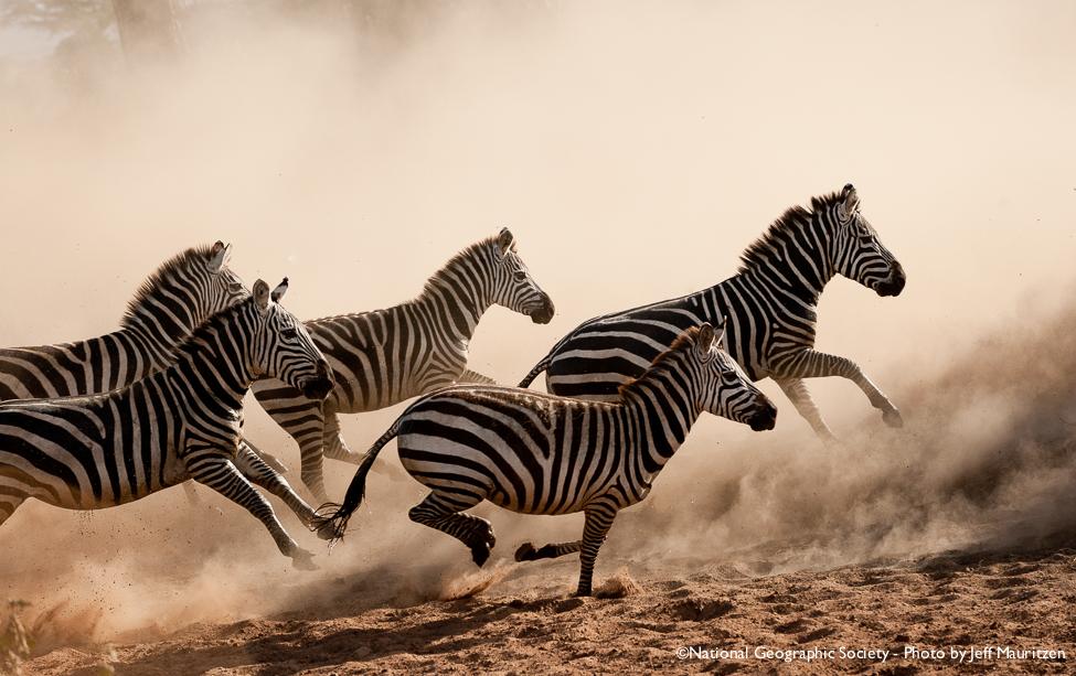 zebra running - photo #1