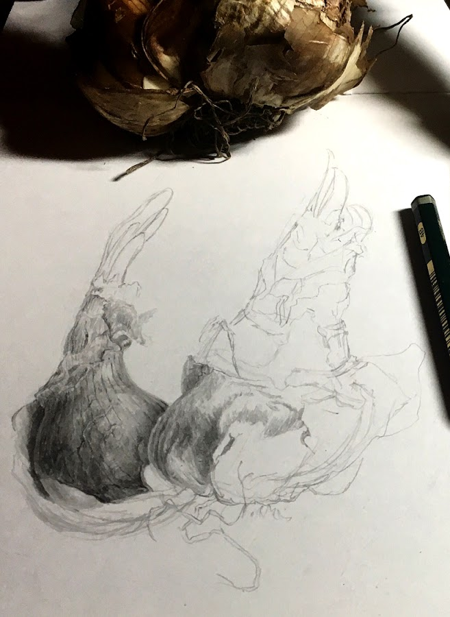 Narcissus bulb drawing