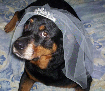 wedding veil dog costume - turtlesandtails.blogspot.com