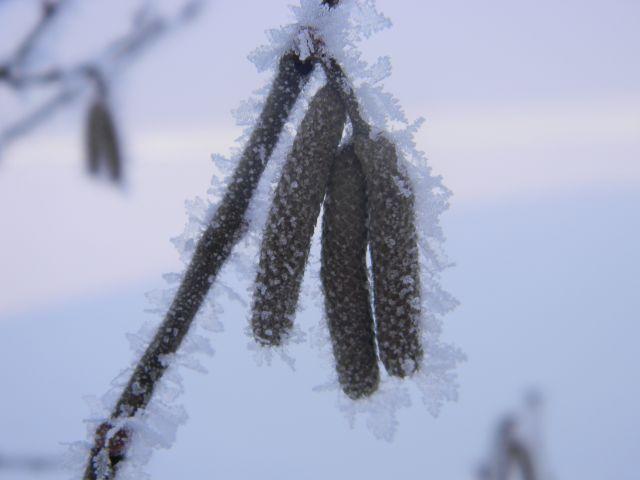 śnieg, zima, drzewo, leszczyna