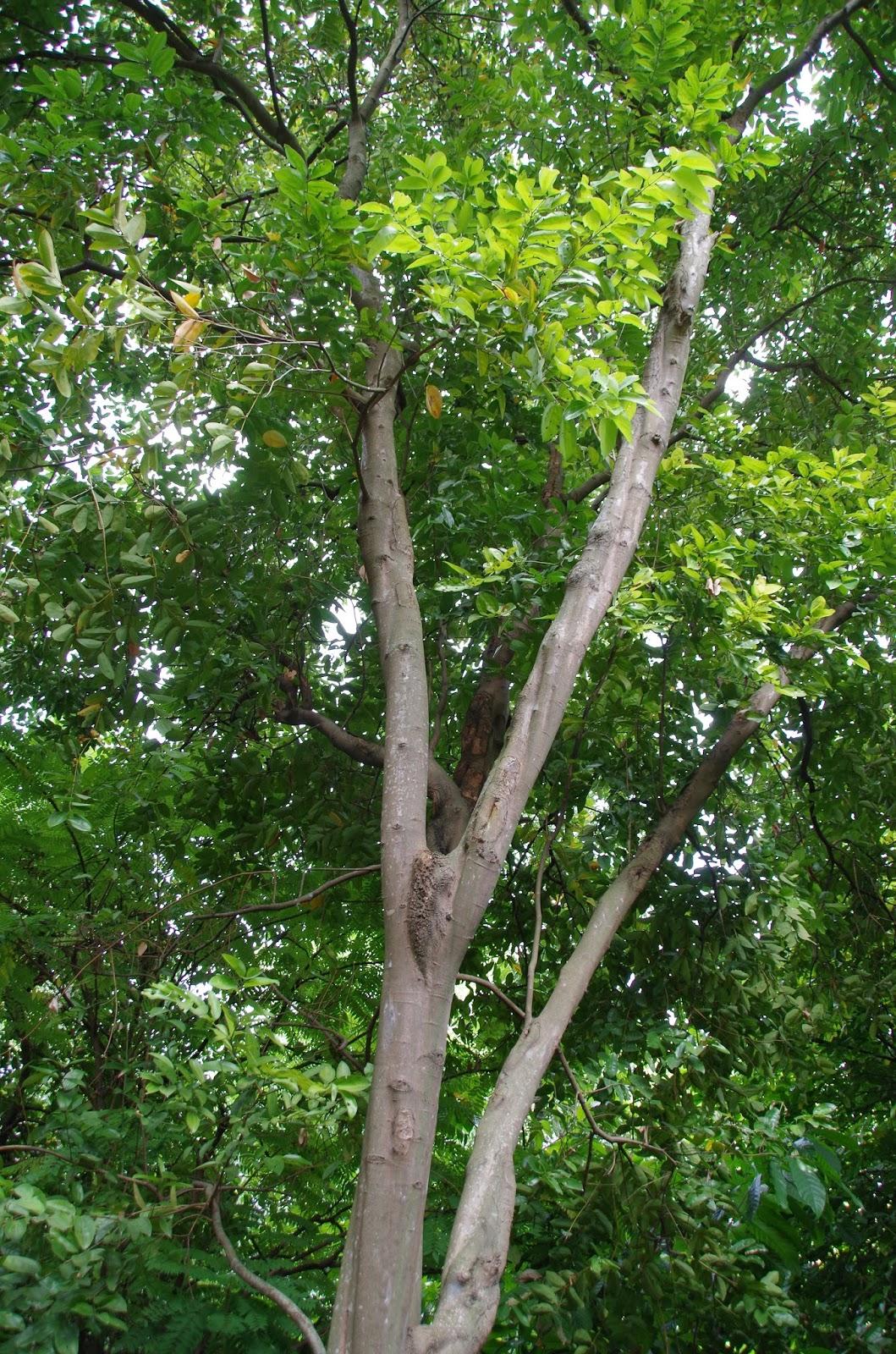 Trees And Plants Cinnamon Tree