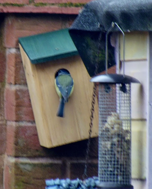 A bluetit feeding her young through the opening of a bird box.