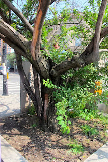 Junction Tree Refuses to Die, Photo by Cheryl Creet