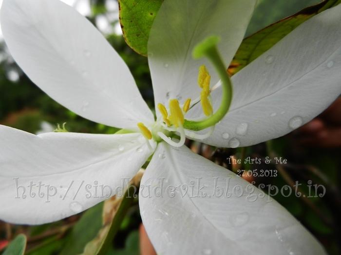 Bauhinia Acuminata - ಬಟ್ಟಲುಮಂದಾರ, pollens in focus