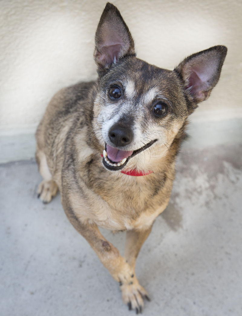 Shelter Dogs Of Portland Sarah A Minimini German Shepherd Mix