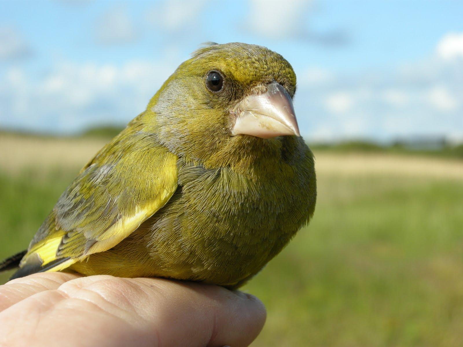 Greenfinch | British Wildlife Wiki | FANDOM powered by Wikia