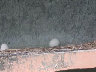Eggs of Peacock in Bangabandhu Safari Park
