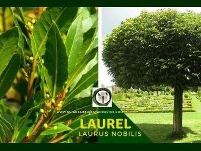 Laurel planta comestible para mejorar la salud en casa