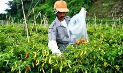 Prospek bisnis peluang usaha cabe rawit di lahan sempit