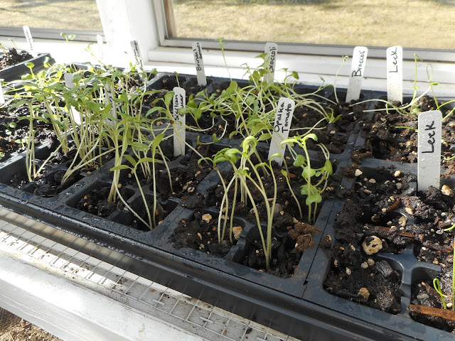 Black tray of seedlings and starts