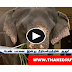 The rescued elephant to be handed over to Vandalur zoo..