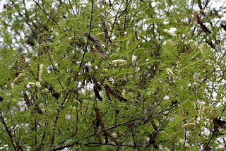 karungali tree uses in tamil karungali tree botanical name karungali tree in tamil karungali pattai karungali plant -family karungali herb karunkali maruthuva payankal in tamil. karungali engu kidaikum maram sedi karungali siddha uses, karungali maram payankal karungali maram valarppu karungali kattai karungali maram kidaikkum idam karungali ver natchathira marangal senkarungali maram, pisin, bisin, picin, mara pisin, garunkali, garungali, kurunkali, aanmai கருங்காலி மரம் பயன்கள் கருங்காலி மரம் வளர்ப்பு கருங்காலி கட்டை கருங்காலி மரம் கிடைக்கும் இடம் கருங்காலி வேர் நட்சத்திர மரங்கள் கருங்காலி செடி எப்படி இருக்கும் வீட்டில் வளர்க்கலாம முள், முல், முழ் பட்டை செதில் பிசின், நடுமரம்,
