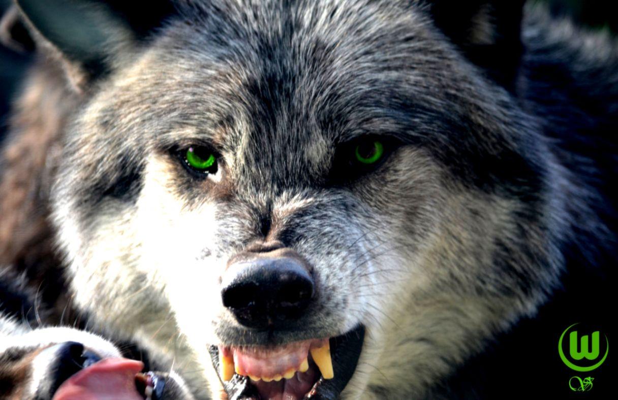 фото с видом злых волков небольшой городок